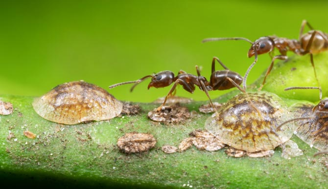 Argentine ants are shown tending scale insects.