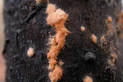 Neurospora colony