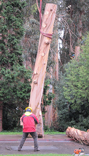 Removing a eucalyptus tree