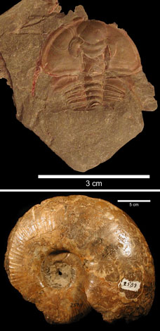 Fossil trilobite and ammonite