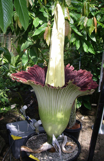 Titan arum in flower
