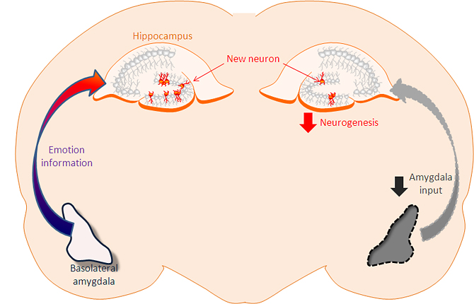 The amygdala promotes production of new neurons in the hippocampus.