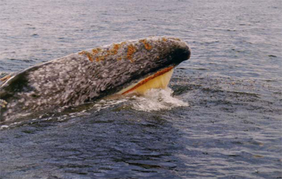 Gray whale feeding on krill off the coast of Vancouver Island, Canada.