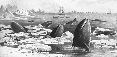 Gray whales cavorting in ice floes in the northern Pacific Ocean, 19th century.