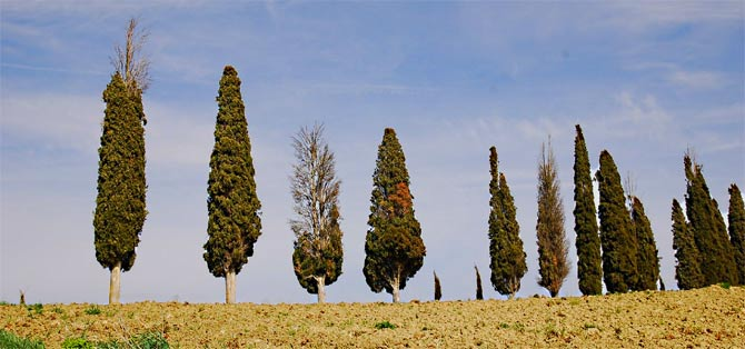 Italian cypress trees showing symptoms of cypress canker disease