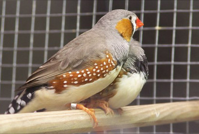 Same-sex zebra finches just as faithful as their hetero counterparts