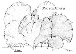 Drawing of the seaweed Ulva californica.