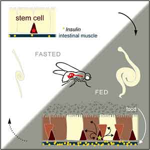 Insulin is released from intestine to kick stem cells into overdrive.
