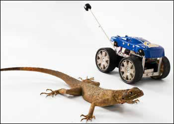 Agama lizard and Tailbot