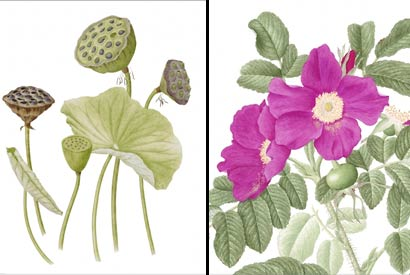 Botanical art as 'capturing a plant's soul'