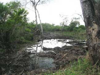 Oil pipeline construction degraded this mangrove forest in Tabasco, Mexico.