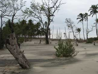 Mangrove forest covered by sand after sea intrusion.