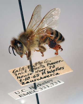 47-year-old bee with pollen grains attached to rear legs.