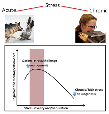 acute stress versus chronic stress