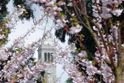 Japanese cherry trees commemorate UC alumni